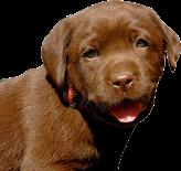choc-lab-puppy