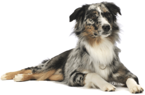 collie-dog