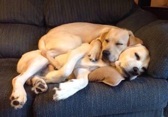 lab-cuddles